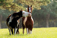 American Paint Horse stallion and gelding socialize.