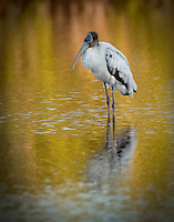 Wood Stork standing in the water  in golden evening light with reflection visible