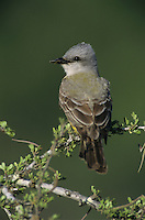 Couch's Kingbird, Tyrannus couchii ,adult, Starr County, Rio Grande Valley, Texas, USA