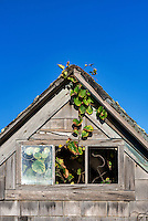 Dilapidation shack detail with vine growing from within.