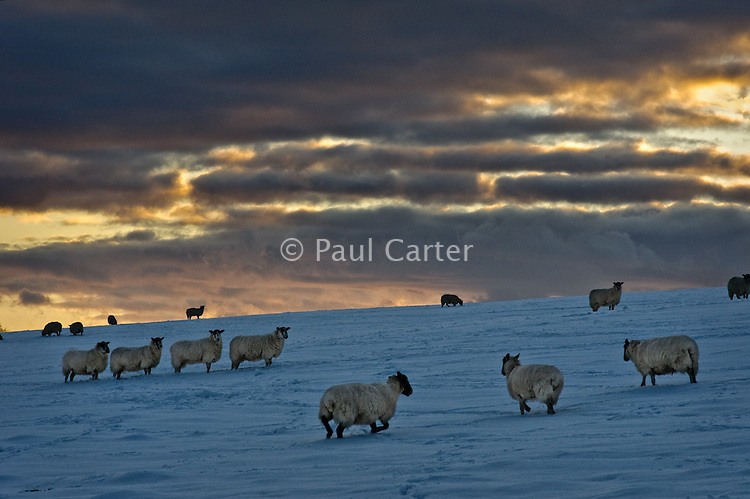 Sheep in snowy fields on the chalk downs near Salisbury, Wiltshire after a week of the heaviest snowfalls for over a decade.