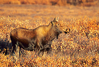 Cow moose stands broadside in the autumn tundra, Denali National Park, Alaska.