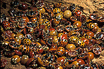 Asian lady beetles hibernating Predatory Lady bug beetles