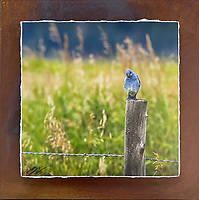"""Bluebird of Happiness - Mixed Media - Wyoming<br /> <br /> Each unique piece is made to order. If I have the piece in stock I can ship it in 2-3 days. If I don't have it in stock and it has to be made, it will ship in 1-2 weeks. Feel free to contact me at chey.rouse@gmail.com before you order if you need the piece ASAP. <br /> <br /> The photograph is printed on a Silk photo paper, the edges of the photo are torn, photo is mounted to foam board, then I mount it to an 8""""x8"""" piece of rusted metal. The rust is unique on each piece...no two pieces are alike. PLEASE keep in mind that the rust on the piece(s) you receive may be slightly different than the photo. Each piece of metal is sealed after it is done """"rusting"""" and is titled, hand signed and, ready to hang. To see the detail for theses Mixed Media pieces please click on the 1st photo in this gallery. You will be able to see the detail of the torn paper edge as well as the back of the piece."""