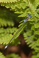 Swamp Spreadwing (Lestes vigilax) Damselfly - Male, Harriman State Park, Stony Point, Rockland County, New York