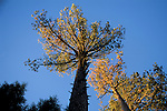 Sunset light on pine tree and blue sky, Manzanita Lake, Lassen Volcanic National Park, Shasta County, California
