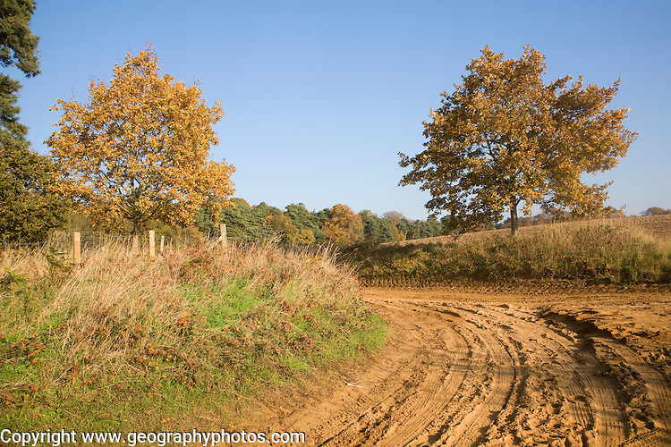 Sandy track road on Suffolk Sandlings in autumn with blue sky, Sutton, Suffolk, England