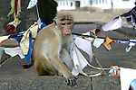 Toque Macaque At Dambulla Cave Temple