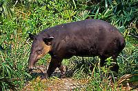 Central American Tapir or Baird's Tapir (Tapirus bairdi)