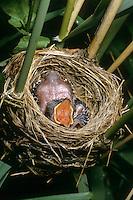 Kuckuck, bettelndes, sperrendes Küken im Nest eines Teichrohrsänger, Brutparasitismus, Cuculus canorus, Cucullus canorus, cuckoo