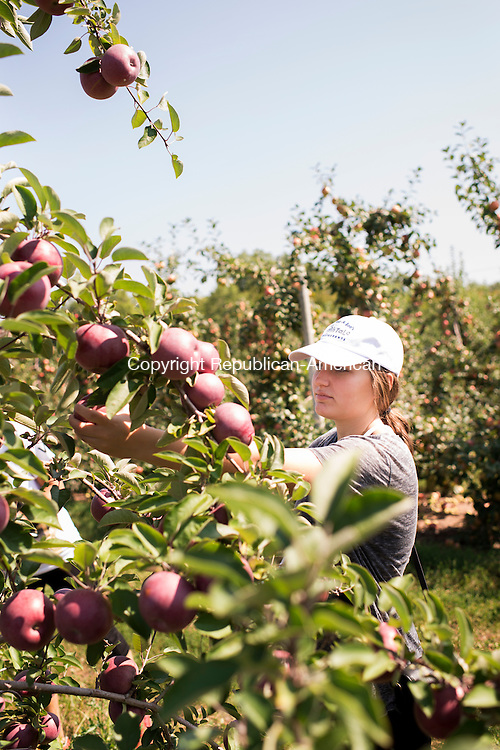 CHESHIRE, CT - 7 September 2015-090715EC02-- Elif Abedin, 16 pulls a McIntosh apple off of a tree at Norton Brothers Fruit Farm in Cheshire Monday. The farm is also offering pick-your-own peaches. Erin Covey Republican-American.