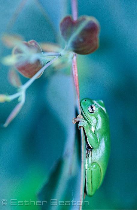 Green Tree Frog (Litoria caerulea) among juvenile leaves of White Box sapling, Gundagai area, NSW