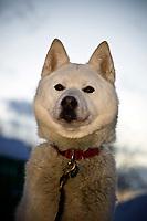 Karen Ramstead's dog is all eyes on Karen as she prepares breakfast meal on Thursday morning at Takotna during the 2008 Iditarod