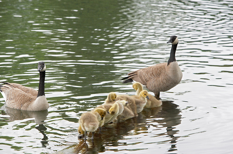 Baby Canadian geese with parents cleaning themselves. Crystal Springs Rhododendron Garden. Portland, Oregon