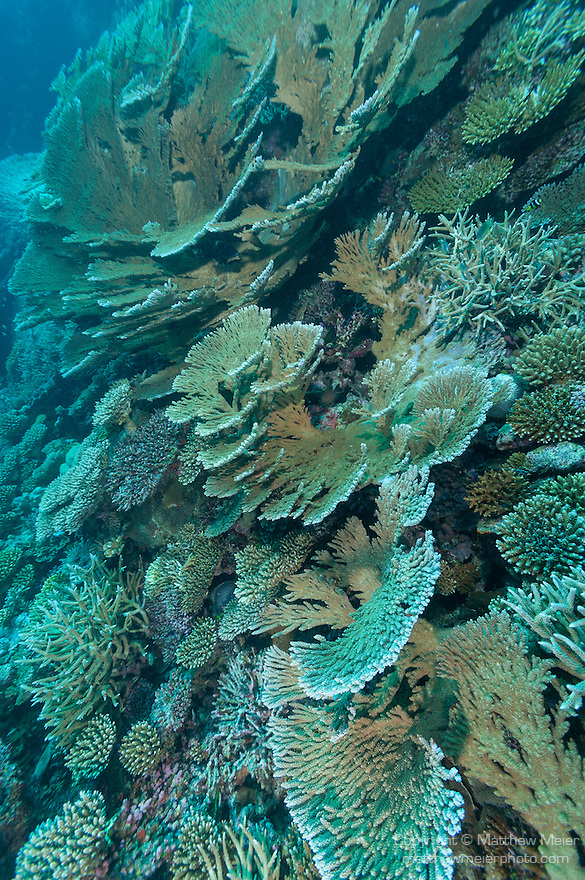 Nilandhoo Giri, Nilandhoo Island, Huvadhoo Atoll, Maldives; large numbers of (Acropora sp.) stony corals and plate corals populate a shallow water coral reef