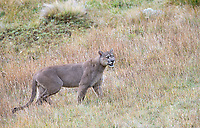"This big dark male, which our guides nicknamed ""Oscuro"" (literally, ""dark""), won the affection of a female puma in heat during our visit.  He was the darkest puma I've ever seen."