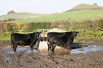 Aberdeen Angus cross breed beef cattle calves standing muddy field by feed container, Wilcot, Wiltshire, England, UK