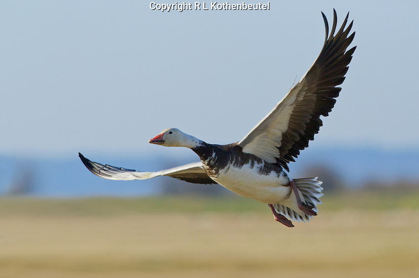 Snow goose (Chen caerulescens) Adult blue morph (blue morph x white morph intergrade) in flight in early morning light<br /> Skagit Flats near Stanwood, Skagit County, Washington State<br /> 3/25/2012