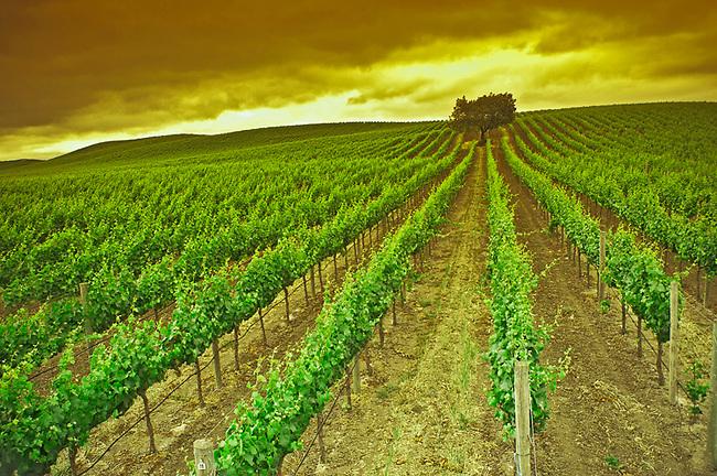 Carneros vineyard