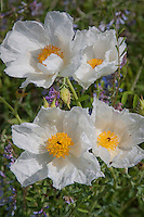 Wildflowers such as the White Prickly Poopy  line the roadsides in the Texas Hill Country near Fredericksburg Texas.