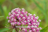 63899-05405 Swamp Milkweed (Asclepias incarnata), Marion Co., IL