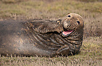 A grey seal appears bashful as it shies away from the camera while lounging on muddy ground.  The adult male covered its face with its flipper and turned its head away from the camera.<br /> <br /> However the seal, lying on a muddy salt marsh at an English coastal site, did appear to give the photographer a smile as it opened its mouth.  These shots were taken at Donna Nook, on the low-lying coast of north-Lincolnshire, after the male seal came ashore to mate with females who were there to give birth.  SEE OOUR COPY FOR DETAILS.<br /> <br /> Please byline: Keith Elcombe/Solent News<br /> <br /> © Keith Elcombe/Solent News & Photo Agency<br /> UK +44 (0) 2380 458800