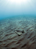 A blue spotted stingray on the sand in the shallows on the Tulamben beach..