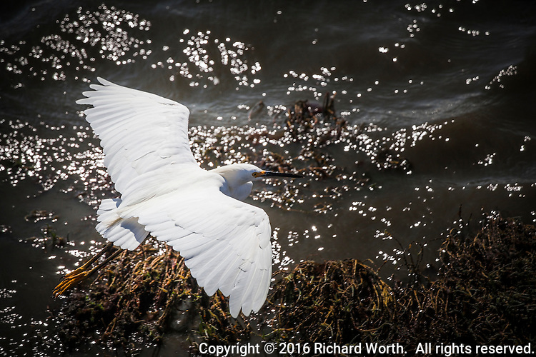 A Snowy egret, with its wings spread wide, flies over the glistening shores of San Francisco Bay in Alameda, California.