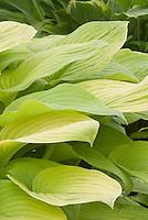Hosta sieboldiana hybrid Wogon's Boy
