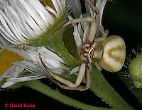 0903-06oo Crab spider - Thomisidae Genus - © David Kuhn/Dwight Kuhn Photography