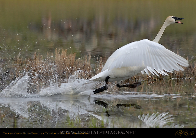 Trumpeter Swan, Mating Display, Trout Lake, Yellowstone National Park, Wyoming