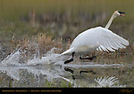 Trumpeter Swan, Mating Display, Trout Lake, Yellowstone National Park, Wyoming