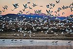 Morning Flight at Bosque Del Apache, New Mexico