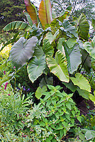 Colocasia esculenta 'Fontanesii', Taro elephant's ears, Salvia elegans, Ensete ventricosum 'Maurelii' tropical plants for a giant garden look