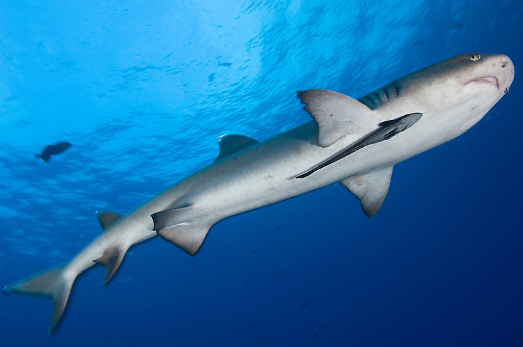 Whitetip reef shark (Triaenodon obesus), full body view with remora, Fathers reefs, Kimbe Bay