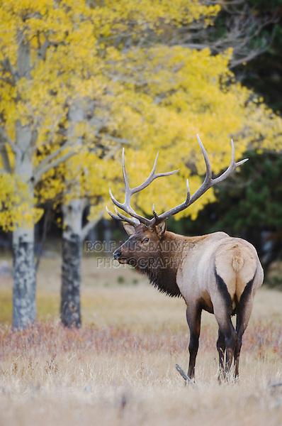 Elk, Wapiti, Cervus elaphus, bull with aspentrees with fallcolors, Rocky Mountain National Park, Colorado, USA, September 2006
