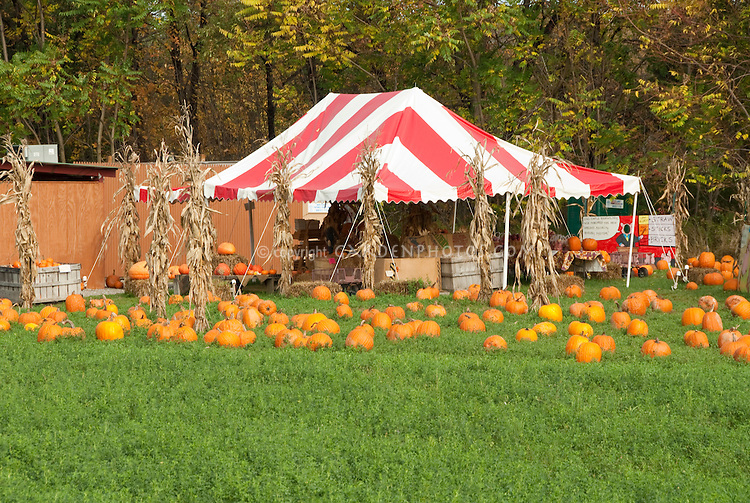 Pumpkins for sale in autumn for Halloween and Thanksgiving at farm garden stand with colorful striped tent and haystacks on lawn