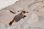 Marmot, mammal, high country, Yosemite National Park, California, USA.  Photo copyright Lee Foster.  Photo # california120862