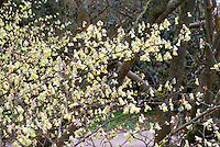 Corylopsis pauciflora in spring bloom