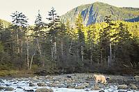 spirit bear, kermode, black bear, Ursus americanus, mother fishing for salmon, central British Columbia coast, Canada