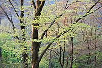 Forest in spring, Grünwald, Bavaria, Germany, Europe