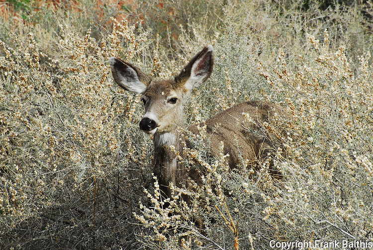 Mule deer in Zion Canyon
