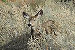 Mule deer in Zion Canyon