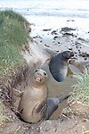 Elephant seal weaners bathing in pond