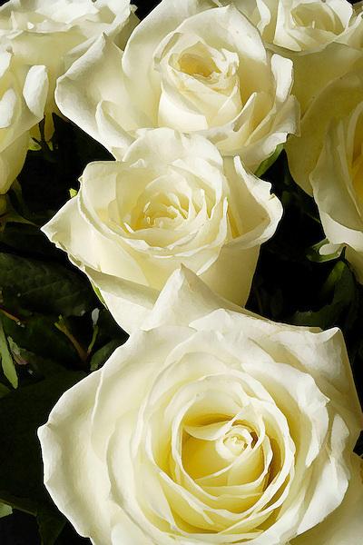 Summer White Roses