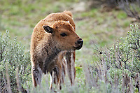 Bison Calf, Grand Teton National Park