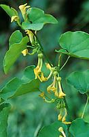 Gewöhnliche Osterluzei, Pfeifenwinde, Aristolochia clematitis, Birthwort