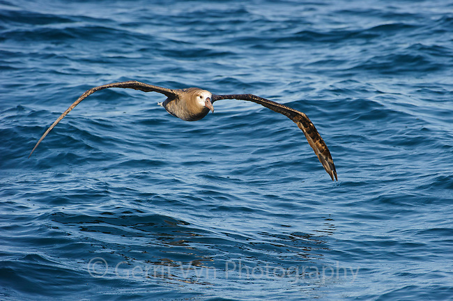 Black-footed Albatross (Phoebastria nigripes) dynamic soaring over the open ocean. Gray's Harbor County, Washington. October.