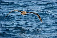 Black-footed Albatross (Phoebastria nigripes) dynamic soaring over the open ocean. Gray's Harbor County, Washington. October.