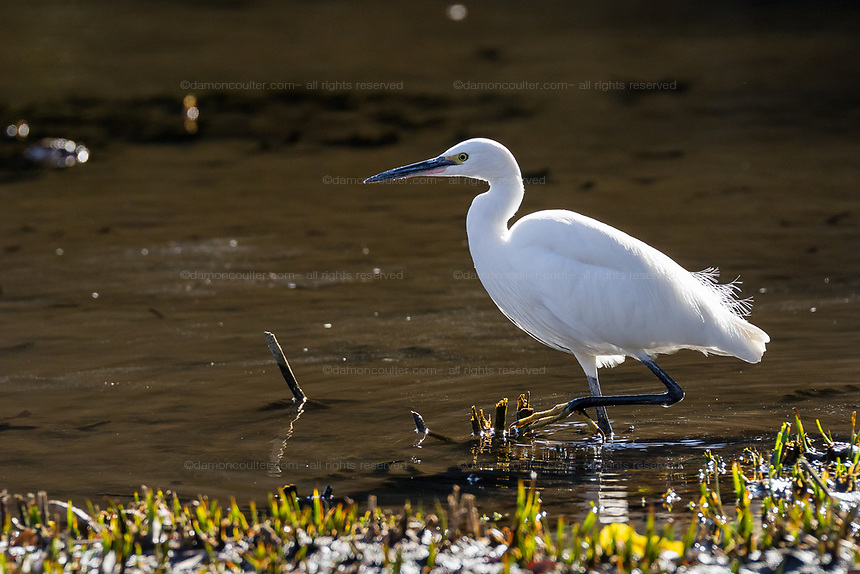 A Little Egret (Egretta Garzetta) hunting in a small lake in Izumi-no-Mori Park in Yamato, Kanagawa, Japan.  Friday December 28th 2018
